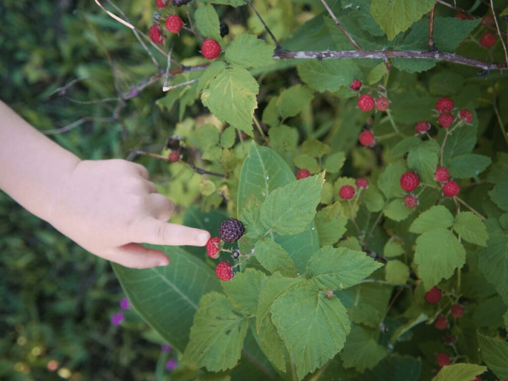 close up of small hand pointing at  ripe blackberry- summer bucket list