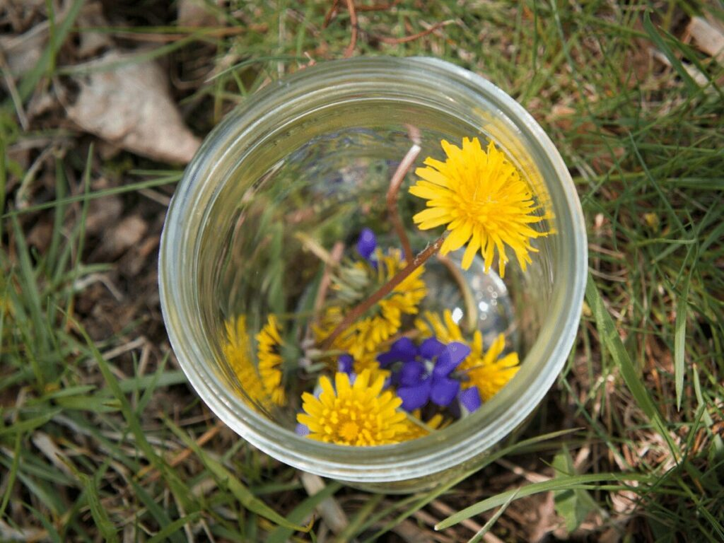 Close up of dandelions and purple flowers in a mason jar that have been collected for a nature rainbow craft.