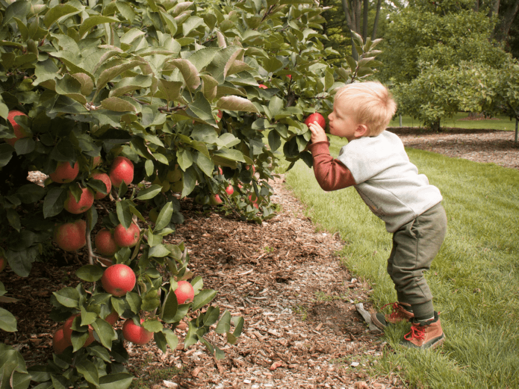 fall bucket list, small boy picking an apple off tree