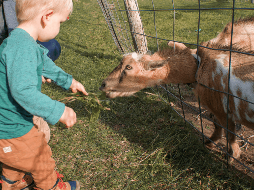 fall bucket list, small boy feeds goat some grass through a fence