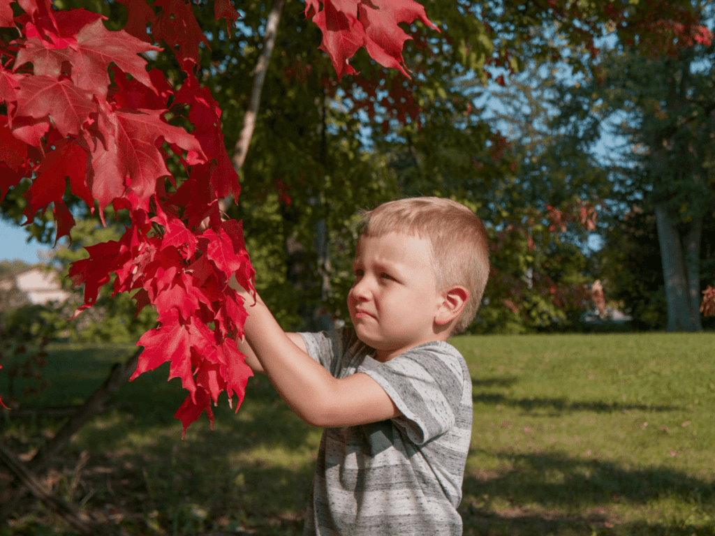 fall crafts for kids, small boy cutting bright red leaves off of low hanging tree branch