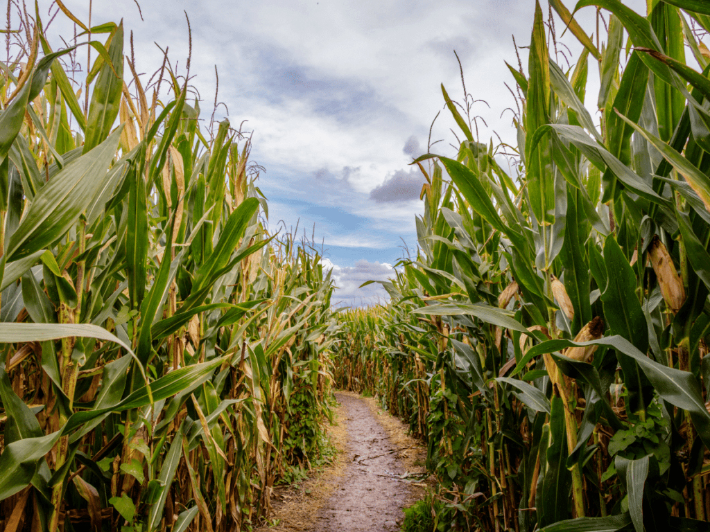outdoor halloween activities, path going through corn field
