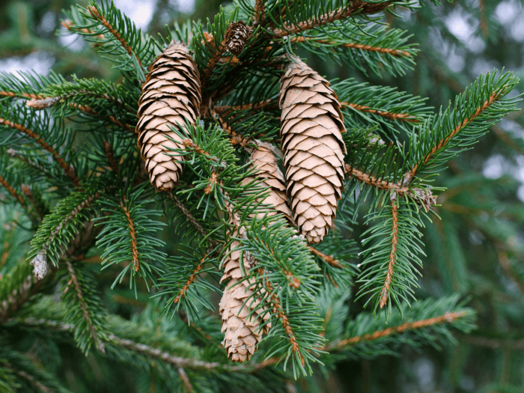 close up of evergreen branch and pne cones