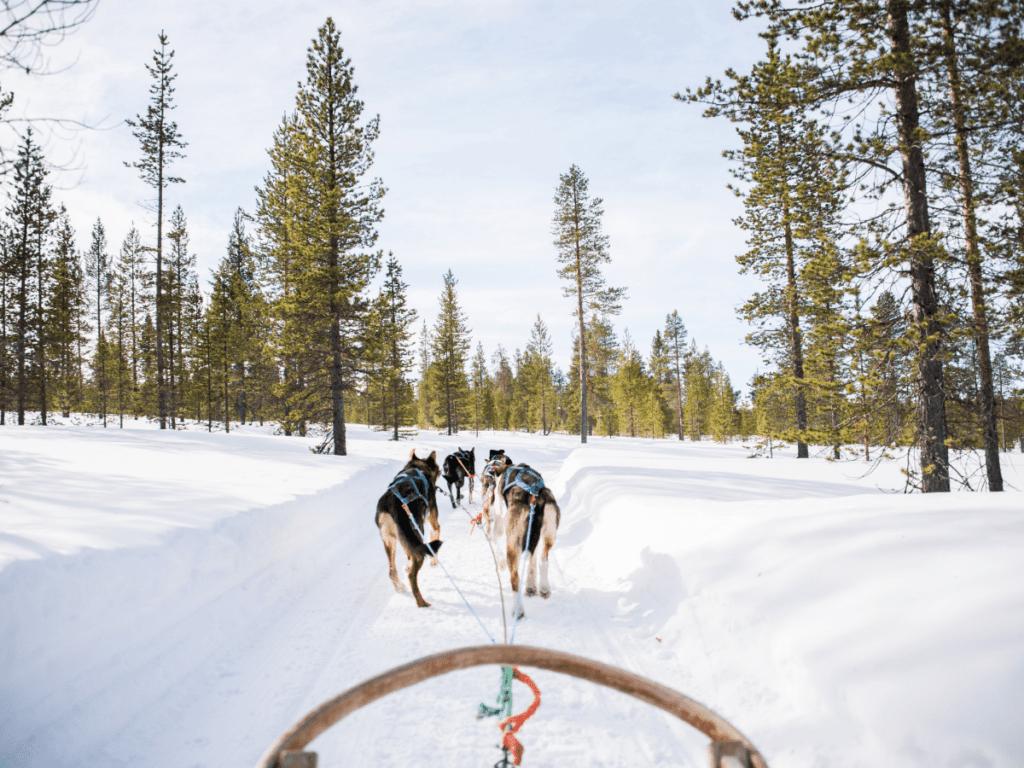 dog sled team running through woods