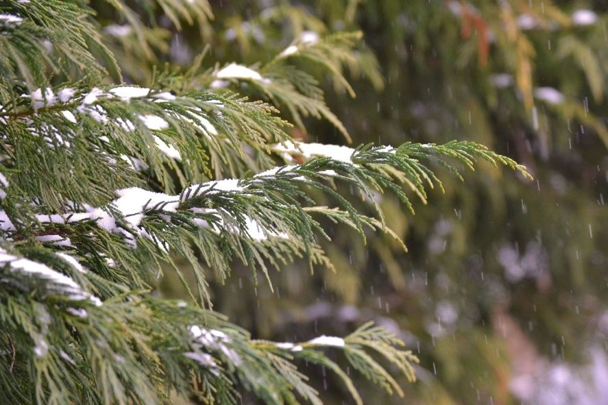 close up of evergreen branch with snow