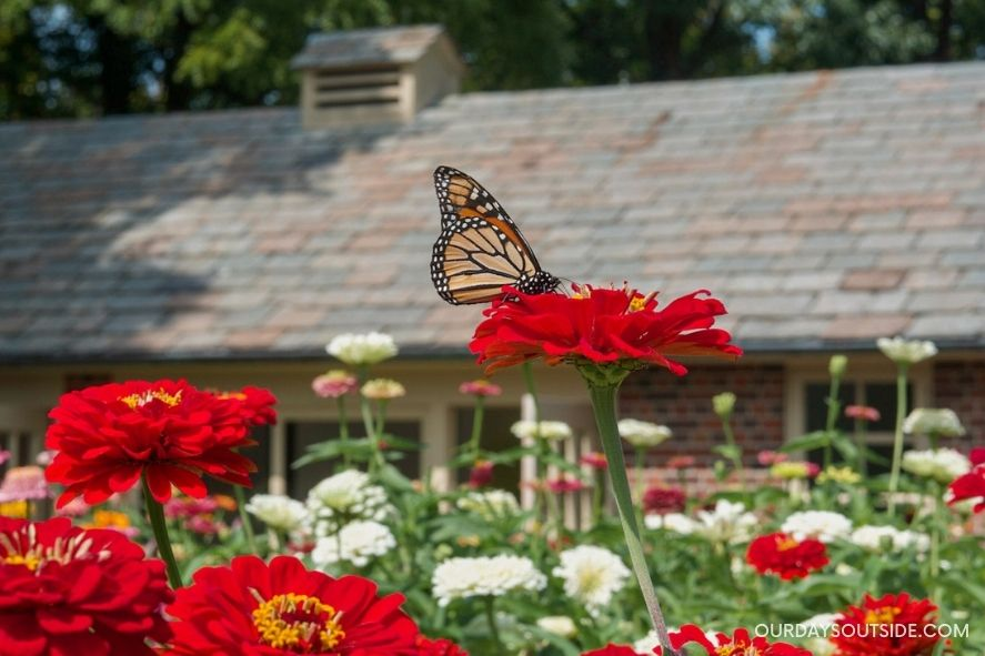 pollinator garden with monarch butterfly on flower